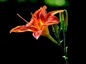lily-742009_640