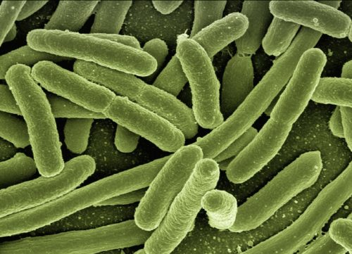 Batterio escherichia coli